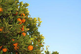 Orangenbaum blauer Himmel